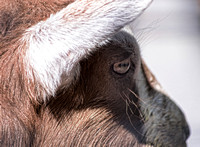 Alpine Goat Profile