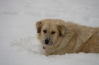 Great Pyrenees Winter Snow