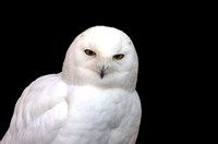 Male Snowy Owl eyes wide open