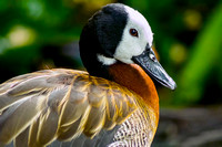 Side profile of White-faced Whistling Duck