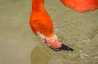 Caribbean Flamingo beak under water tropical bird