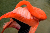 Caribbean Flamingo black and pink feathers