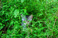 Striped Tabby hiding in the wild