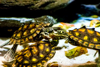 Three Yellow Blotched Map Turtle