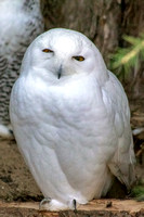 All white a male Snowy Owl