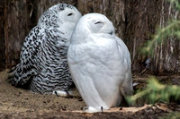 Snowy Owls Male in front and female behind