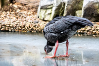 Southern Crested Screamer holding on while drinking water