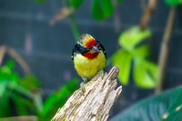 A Black-spotted Barbet on tree