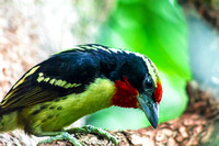 A Black-spotted Barbet side view