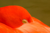 The wonders of caribbean pink flamingo