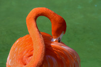 Caribbean pink flamingo reaching behind scratching that itch