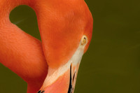Caribbean pink flamingo soft green background
