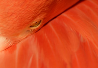 Close up view eye open caribbean pink flamingo