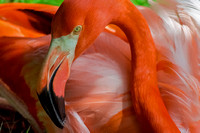 Pink Curved neck Caribbean Flamingo eyes open