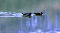 Male and Female Wood Ducks swimming painterly rendering