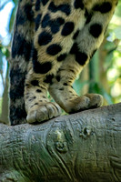 Clouded Leopard back paws standing on limb painterly
