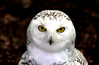 Snowy Owl female portrait