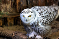 Snowy Owl female tail feathers upward