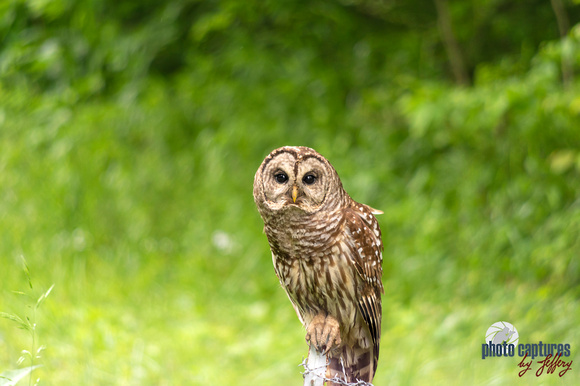 Barred Owl perched on fence post in the country