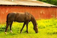 Brown horse grazing next to red barn painterly rendering