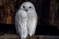 Male white Snowy Owl
