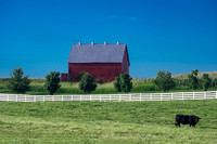 Lone solid black cow in pasture