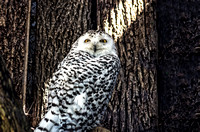 Snowy Owl Looking Straight Ahead While On Log