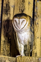 Barn Owl Standing On One Leg