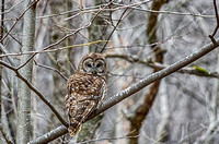 Barred Owl perched upon a limb barren winter trees