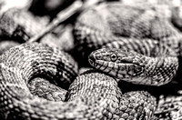 Radnor Lake Northern Water Snake Black and White