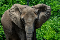 African Elephant with both ears spread open