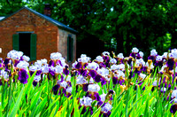 On the Grassmere Farm Royal Storm Irises