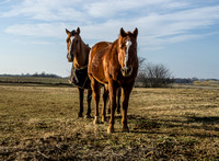 Two Quarter Horses Walking Closer