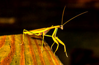 Night time Mantis