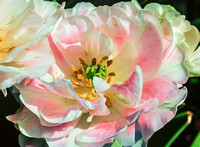 Double Parrot Tulip Pink and White