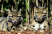 Clouded Leopards heads up laying on ground
