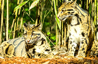 Two wonderful Clouded Leopards together