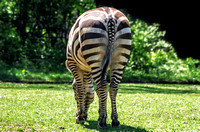 Zebra Backside View Green Grass Grazing