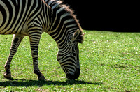 Stripped Zebra Grazing on Green Pastures