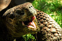 Galapagos Tortoise mouth wide open with grass hanging out