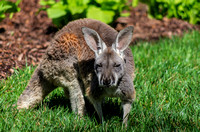 Red Kangaroo Joey Teenager Spring Sunshine