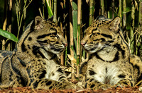 Nose to nose eyes to eyes Clouded Leopards