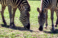 African Zebras Two Grazing