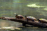 Three Box Turtles on a log in the water of Radnor Lake