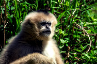 Female Northern White-cheeked Gibbon