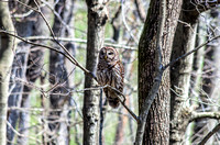 Radnor Lake State Natural Area Barred Owl On Branch
