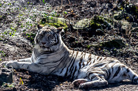White Bengal Tiger relaxing in the winter sunshine