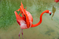 Caribbean Flamingo wings up and out tropical bird