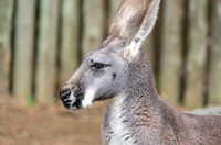 Red Kangaroo with beauty mark profile animal print