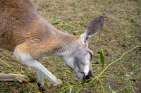 Red Kangaroo Eating Green Leaves Adorable Animal Print
